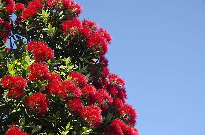 NZ Pohutukawa in bloom