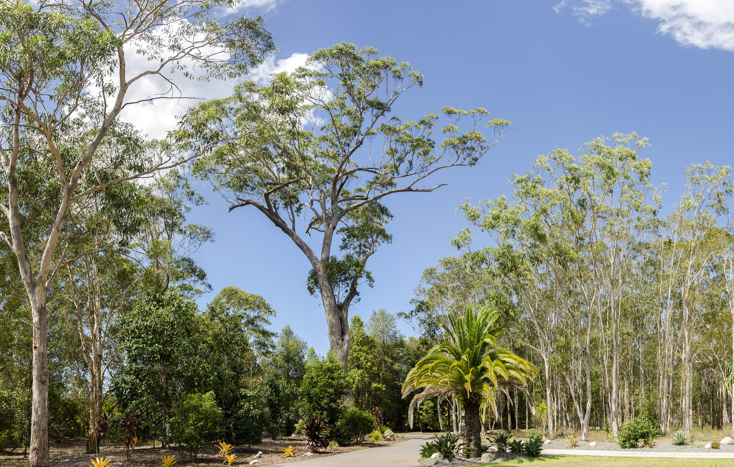 Panoramic image of Australian gum trees .